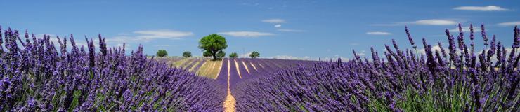 Der lavendel das synonym der provence ferienhaus provence for Lavendelfelder provence